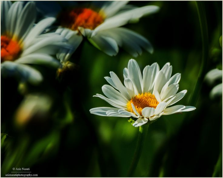 A frame for a flower, A flower for a Frame! by Aziz Nasuti on 500px