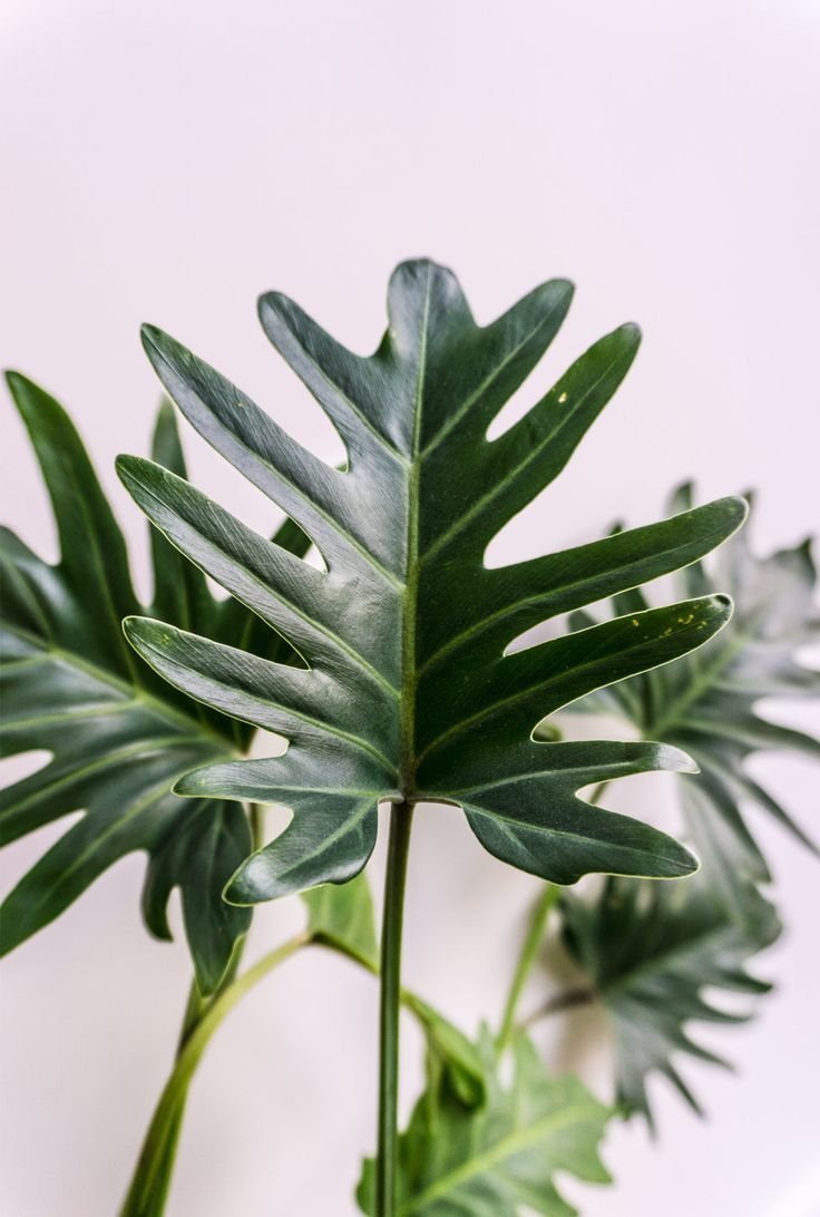 unbelievable house plant with green and pink leaves. Philodendron xanadu  April houseplant hour on Sitsitso 499 best Flowers Plants images Pinterest garden