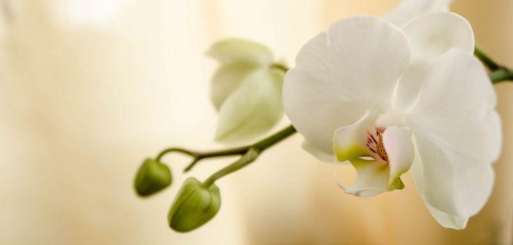 Orchidea selvaggia, bellla da morire, carnose labbra. Pelle ambrata, al tatto ti chiudi, vellutata penetri con le radici il tronco come solo tu sai fare e non lo lasci andare succhiando l'anima di chi ti viene incontro. (Anna De Santis)