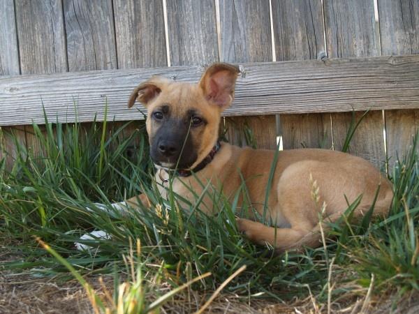 Shiva - an american staffordshire terrier, german shepherd ...
