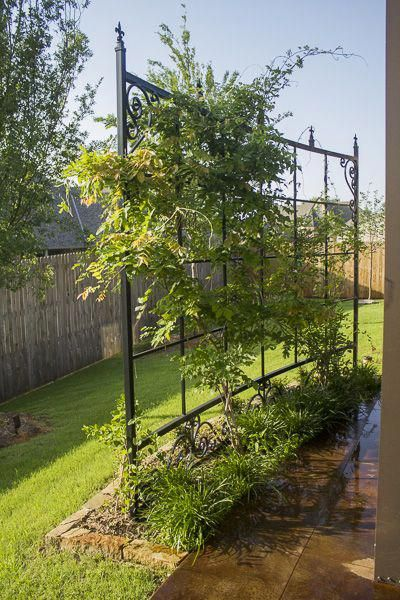 Curved trellis covered with Coral Honeysuckle vines ...