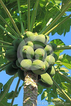 Green papaya fruit in the tree. Close-up. Pefki. Rhodes, Greece