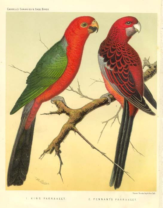 King Parrot and Pennant's Parrakeet  by W.Blakston, W.Swayzland and A.Wiener