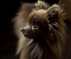I would love, love to have a chocolate POM. (( fell in love with this little one in the photo . . . )) How come they are so darned, cute . . . ? ;)