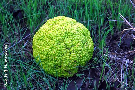 Hedge Apple or Osage Oranges are an excellent 100 percent Organic and chemical free. They are reported to be a Natural Insect Repellent and can be used in Garages, Attics, Basements, behind doors, and anywhere else. I use them in my Garage to keep those noisy crickets away. These