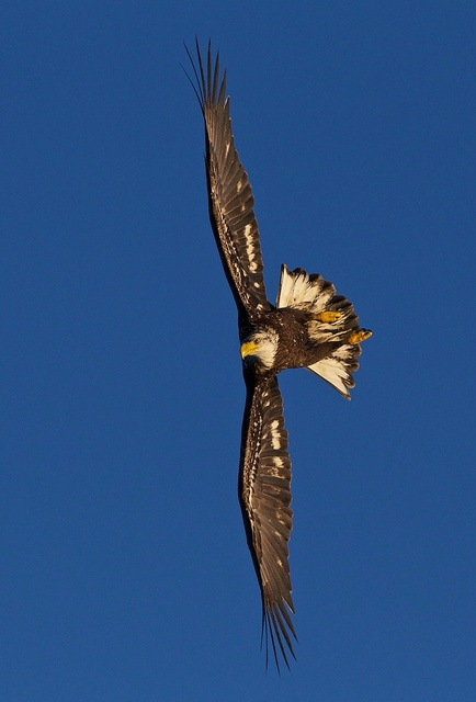Eagles by Scott Bourne - this is a Juvenile Bald Eagle in full dive - the shot is full frame except for some cropping on the sides. Shot on a Canon 1D MK IV with Canon 1.4 TC and 70-200 IS lens. 1/1500th sec at f/8. Hand held - 0.5 EV.