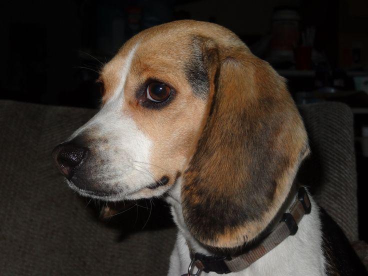 Full-Grown Miniature Beagles