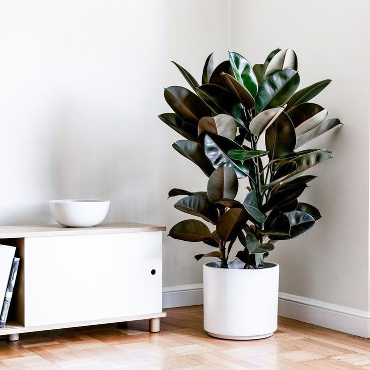 how to care for a rubber plant indoors