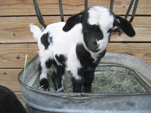 i don't know why but i am obsessed with mini-goats. i just want to carry one…