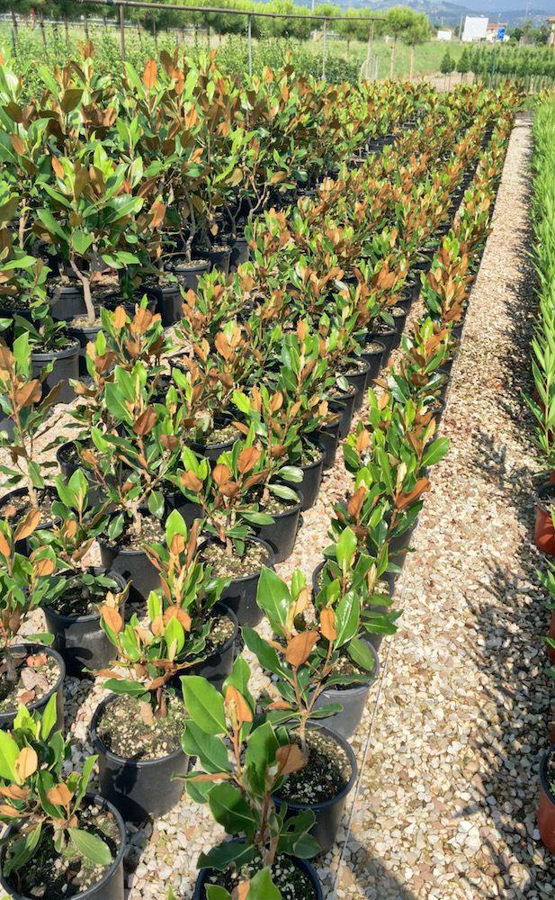 Magnolia Grandiflora Gallisoniensis Compacta - Vendita Piante Online - CompraPiante by Piante Frosini