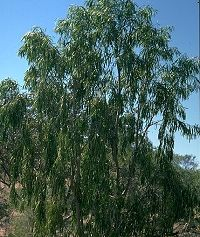 Gumby Tree-TREATS MANY CONDITIONS INCLUDING CANCER.