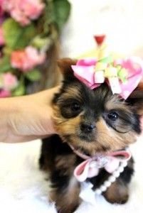 *************Cute Teacup Yorkie Puppies For Adoption***************** - Cullman, AL | ASNClassifieds