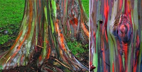 Eucalyptus Deglupta is a tall tree, commonly known as the Rainbow Eucalyptus, Mindanao Gum, or Rainbow Gum. It is the only Eucalyptus species found naturally in the Northern Hemisphere. Its natural distribution spans New Britain, New Guinea, Ceram, Sulawesi and Mindanao.