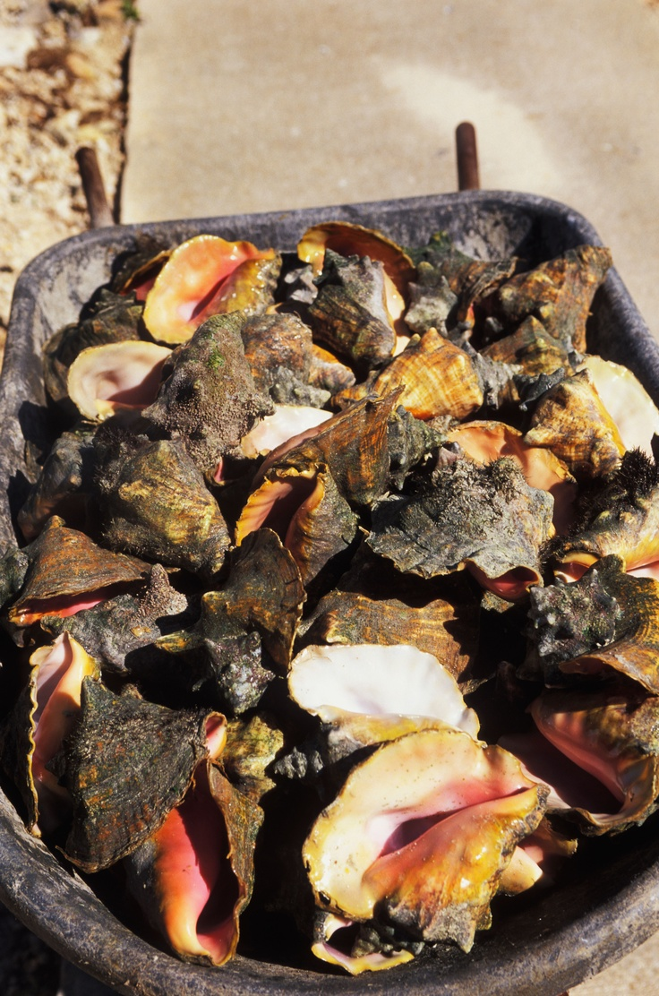 Conch World in Caicos produces about a million conchs, the Turk and Caicos main export! Want to learn more about our Caribbean recommendations? Click the above image.  #Travel #Caribbean #LikeaLocal