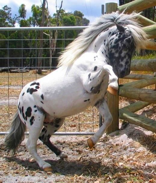 Chubby little pony or miniature horse with spots rearing up. Cute spotted pony with a full bush mane.