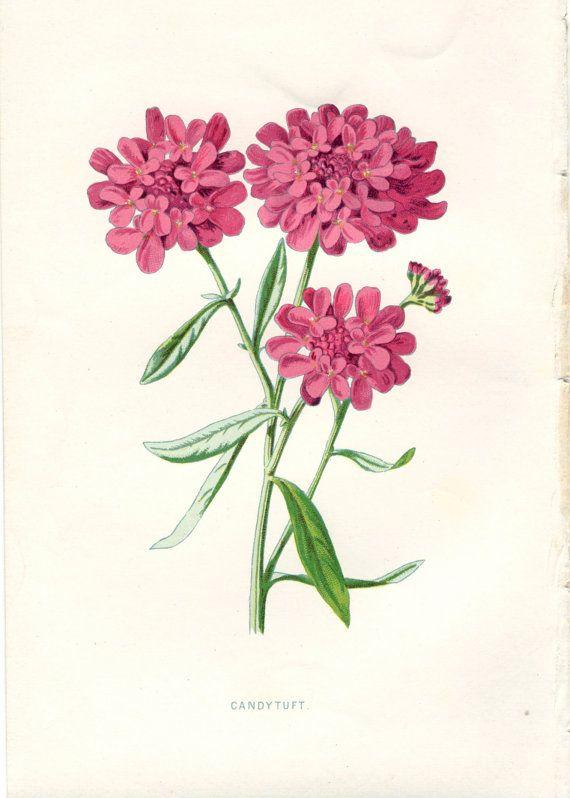 Candytuft - Vintage Botanical Print  #PeonyandThistlePaper