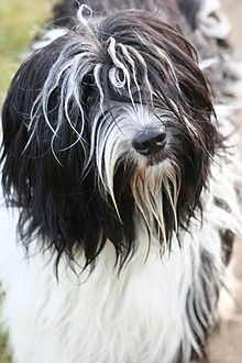schapendoes dog photo | close-up of the facial features of a black and white Schapendoes.