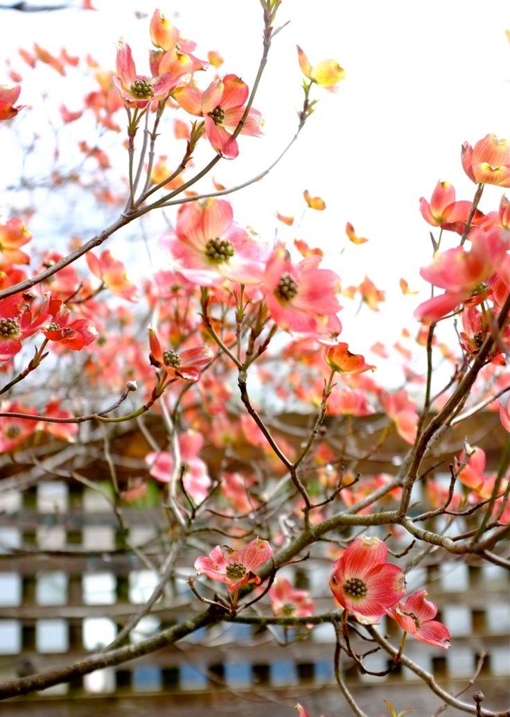Den Garten mit blühendem Hartriegel zieren