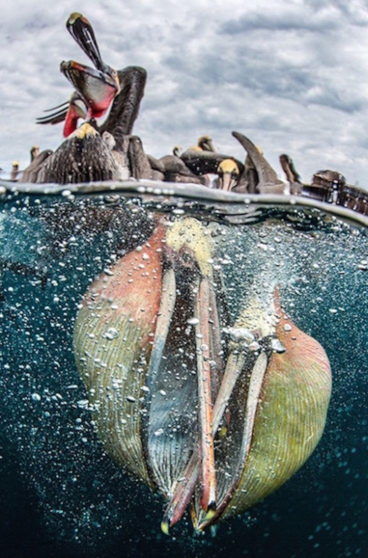 Las mejores fotos submarinas del 2017 surgen gracias al certamenUnderwater Photographer of the year(Fotógrafo submarino del año). Estas son algunas de las mejores fotos del concurso, que se celebra en Reino Unido desde 1965 y