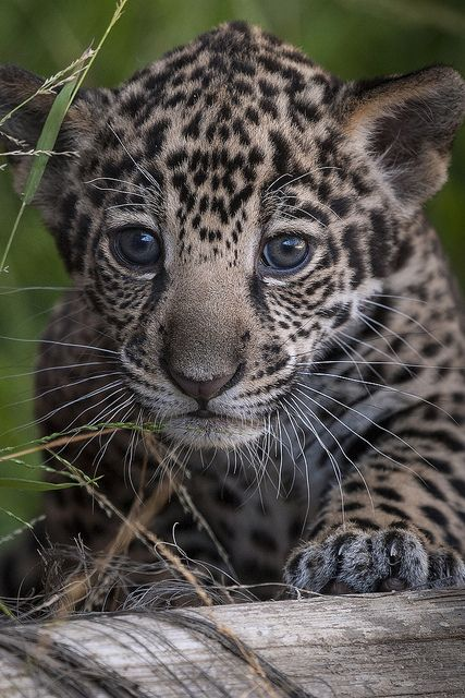 How to tell our jaguar cubs apart: Tikal has a triangular shaped spot above his left eye. See it in this pic?