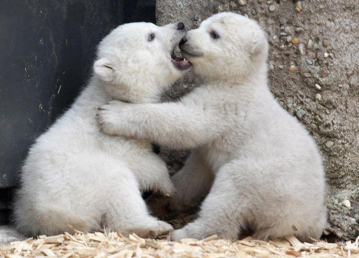 baby polar bear pictures | Baby polar bears make their public debut in Munich