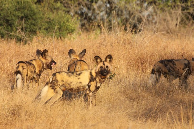 Wild Dogs, Mkhuze Game Reserve, KZN, South Africa