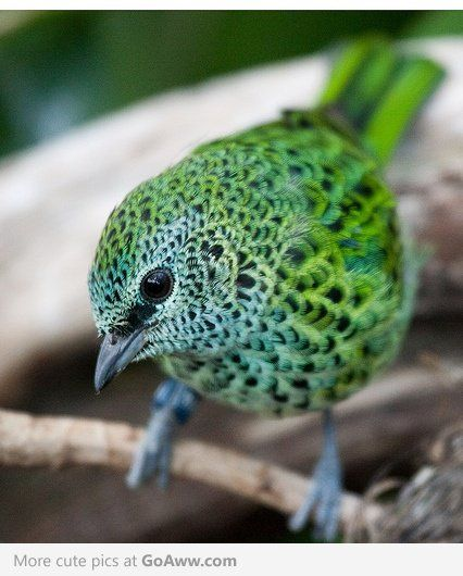 The Spotted Tanager (Tangara punctata) is a species of bird in the Thraupidae family. It is found in Bolivia, Brazil, Ecuador, French Guiana, Guyana, Peru, Suriname, and Venezuela. Its natural habitats are subtropical or tropical moist lowland forests and subtropical or tropical moist montane forests.