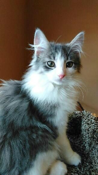 Thunder is an adoptable Domestic Long Hair - gray and white Cat in McHenry, IL Thunder was 1 out of the 13 kittens rescued and socialized in a neighborhood in McHenry County! ... ...Read more about me on @petfinder.com