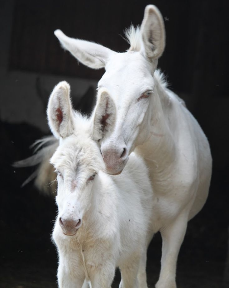 Austrian-Hungarian ivory Donkey. These donkeys have blue eyes. White blue-eyed…