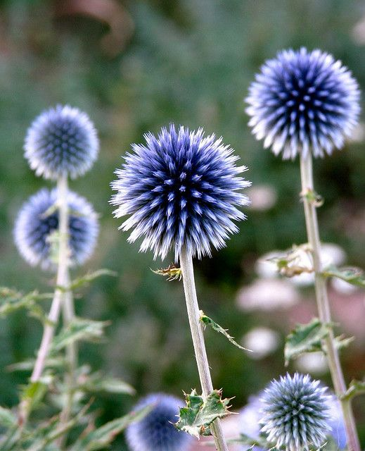 "Globe thistle: ""Independent Nobility"" Formed, but not blooming. A bit prickly, but beautiful."