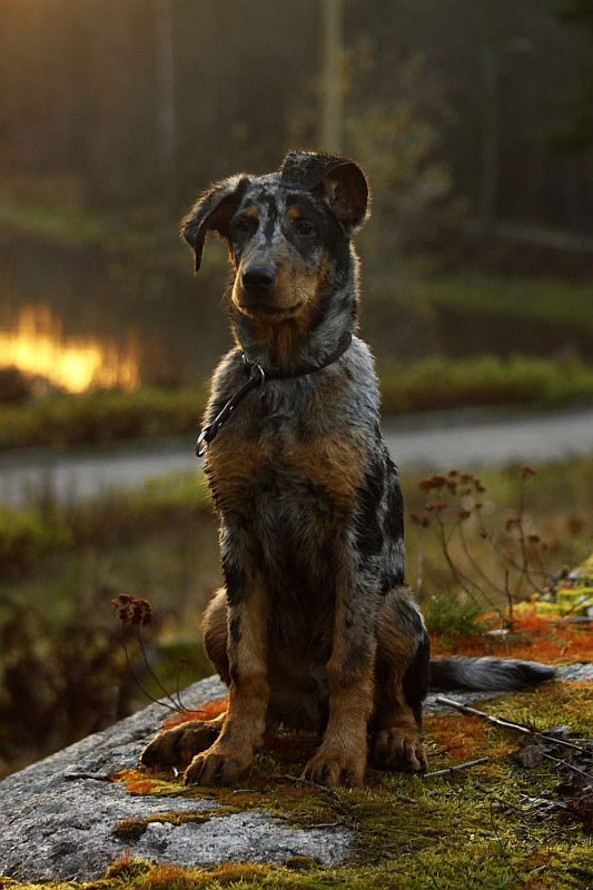 A handsome pup. Catahoula leopard dog mix, maybe? Photo by Minyaloth on Deviantart.