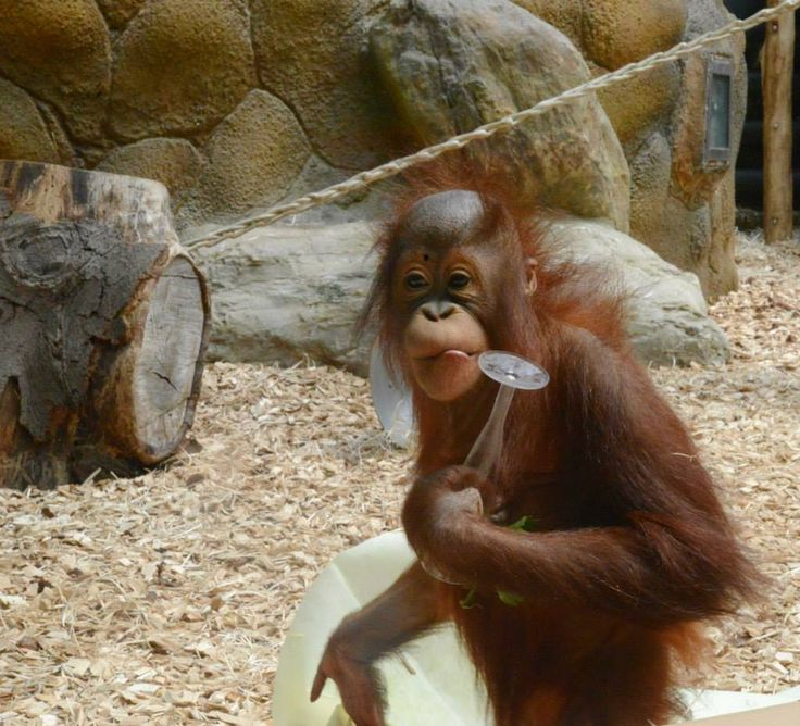 Celebrating the birthday of the Orang-Utan bornejského Žaneta, which enjoyed…