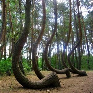 Krzywy Las w Gryfinie, Polska