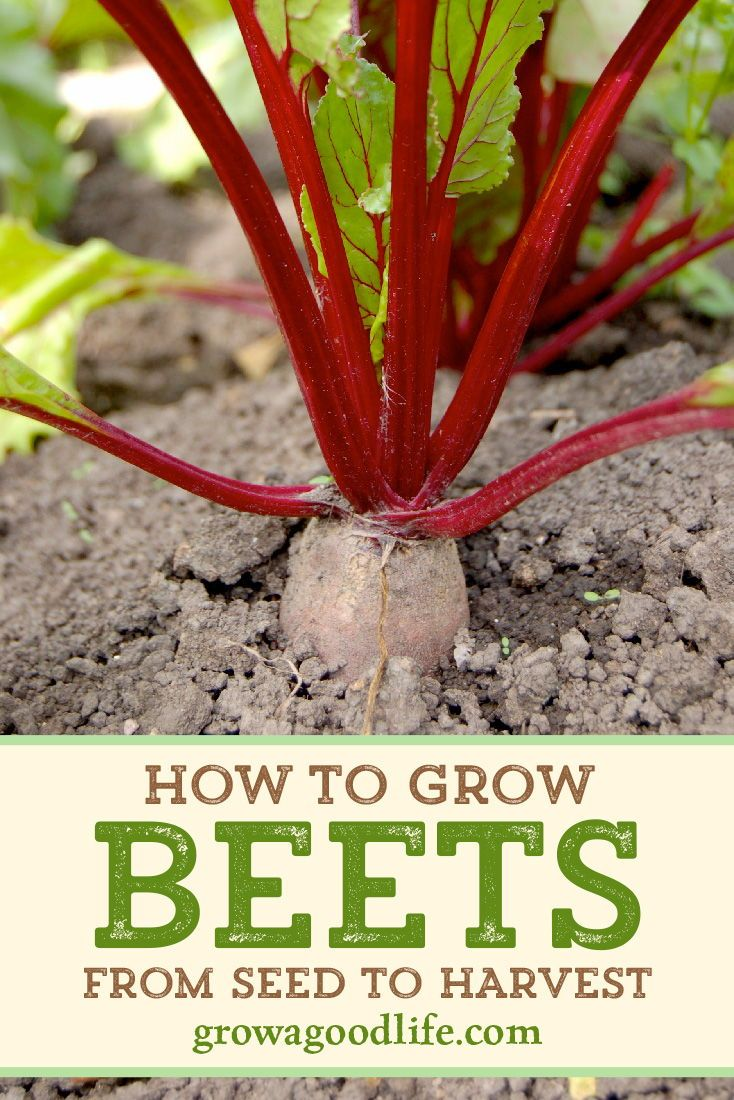 How To Grow Beets From Seed To Harvest Growing Beets Planting Vegetables Spring Vegetable Garden