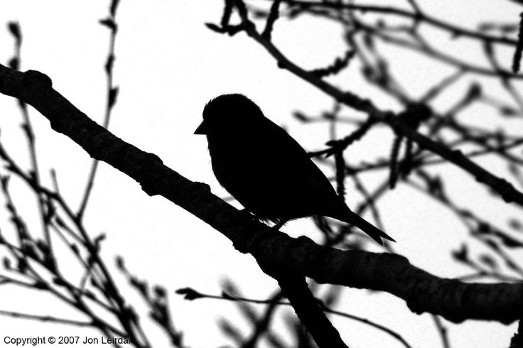 silhouettes of birds | bird silhouetted against a snowy sky the picture was taken during ...