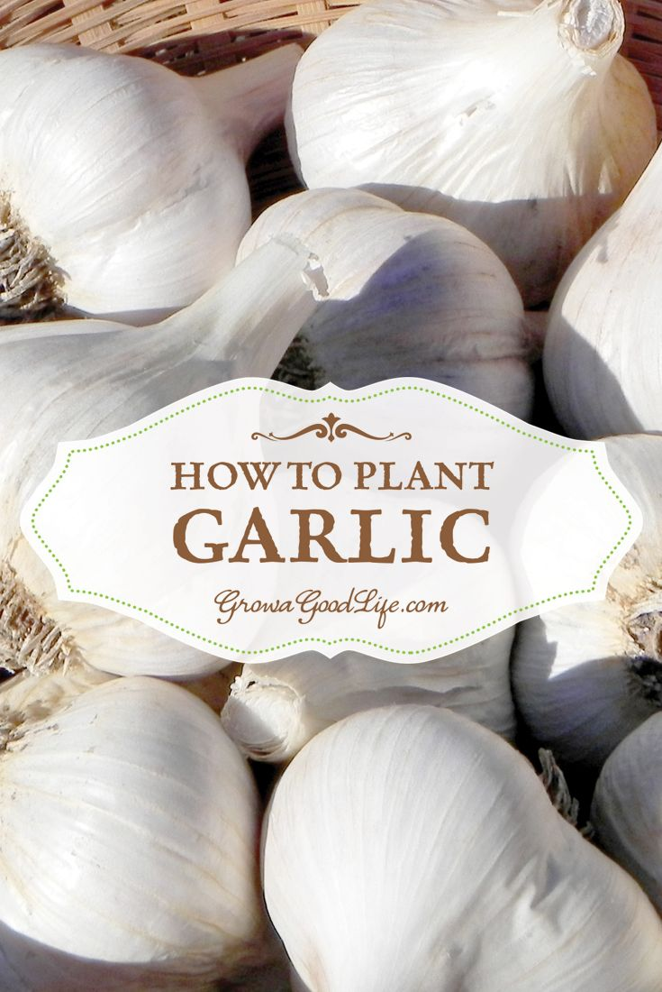 How to Plant Garlic in Fall | Grow a Good Life | #prepbloggers #growyourown #garlic