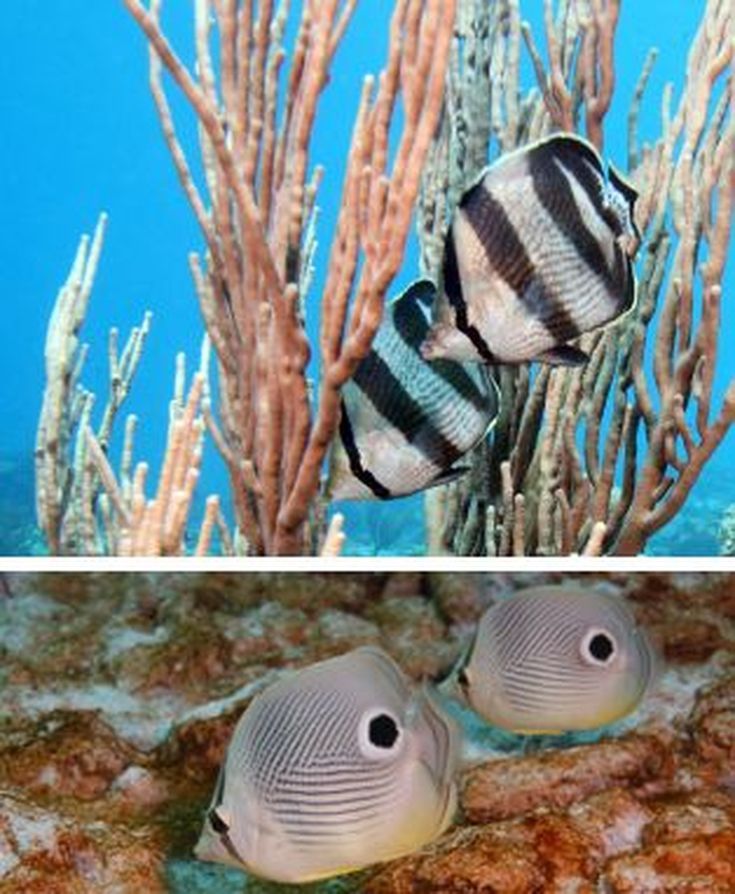 99 Best Images About Butterfly Fish On Pinterest