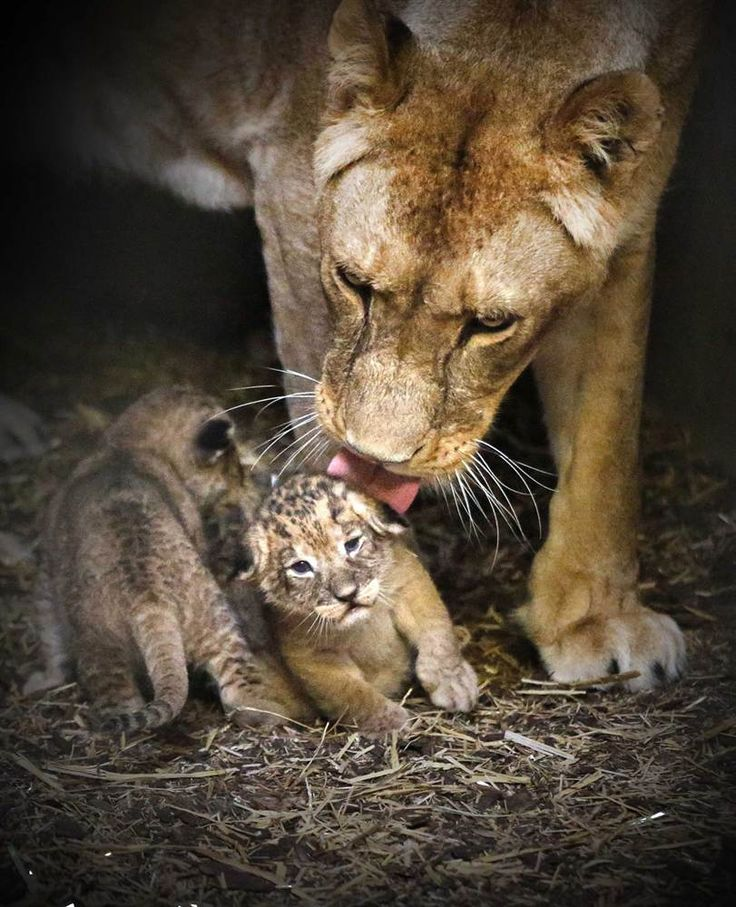 Lion kisses                 Lioness Tia licks one of her cubs as they huddle close together in their enclosure at Emmen Zoo in the Netherlands