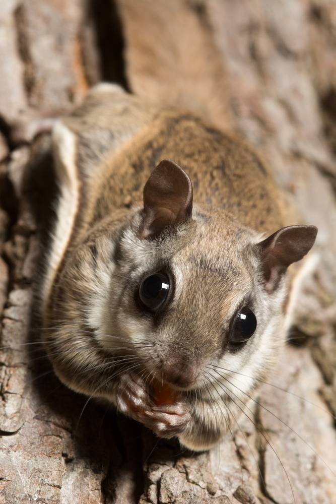 The northern flying squirrel and southern flying squirrel are all native to the U.S.