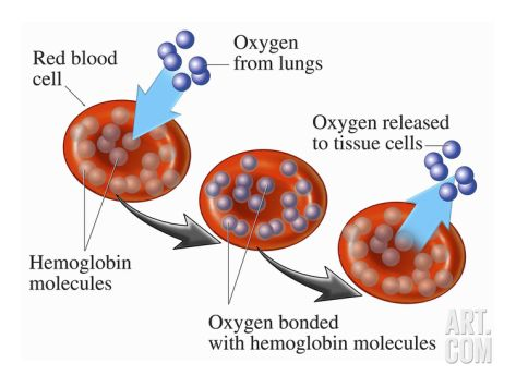 erythrocyte and hemoglobin relationship help