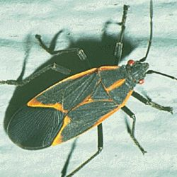 Kill outdoor box elder bug swarms by spraying them with a solution of 1/2 cup laundry soap to one gallon water. You must actually spray each bug to kill it, so look for emerging swarms found by cracks and crevices. I killed a few thousand yesterday. -Wendy