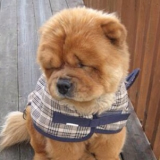 I had 2 chows when I was younger...they are so cute & friendly
