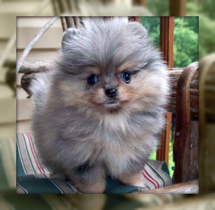 Blue Merle Pomeranian Puppies Photos