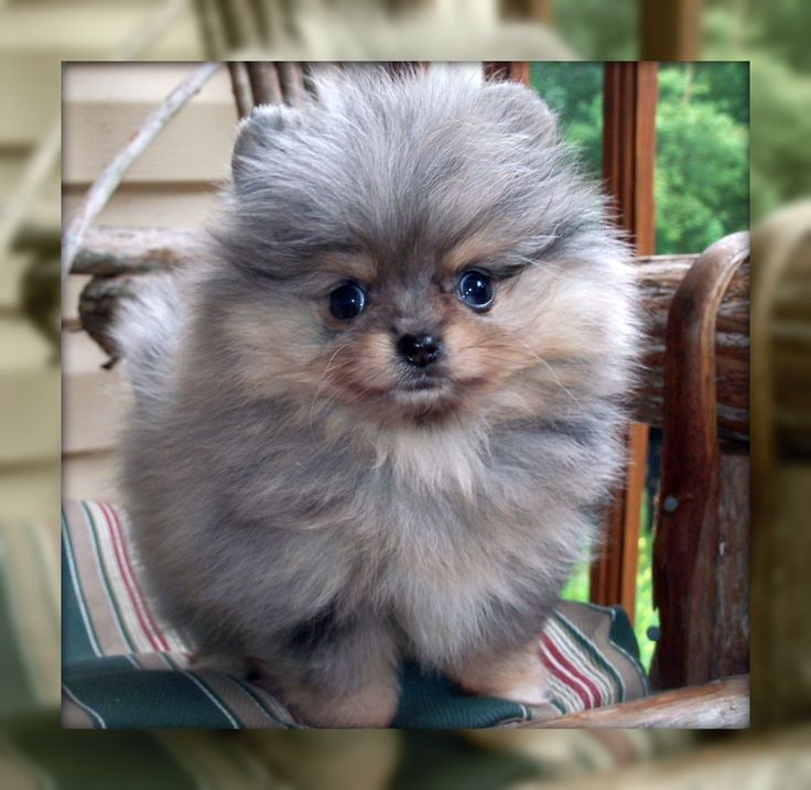 Past Puppies - One Love Poms