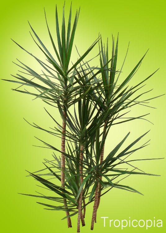 spikey narrow green dracaena marginata plant