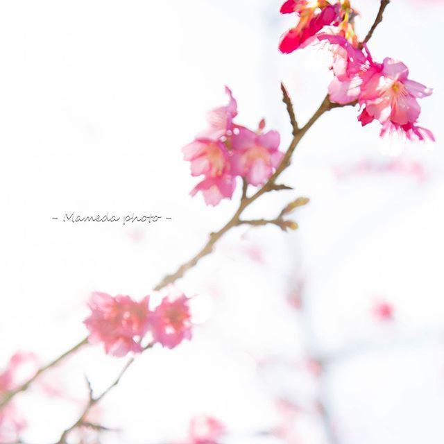 【mameda_photo】さんのInstagramをピンしています。 《. . 春の訪れにココロ揺れて . . . サクラサクラと口ずさむ . . . #写真好きな人と繋がりたい #ファインダー越しの私の世界 #沖縄 #沖縄カメラ #写真好き #canon #キヤノン #5dmark3 #東京カメラ部 #japan_of_insta  #風景 #サクラ #桜 #沖縄の桜 #寒緋桜 #緋寒桜 #Sakura #八重岳 #本部町八重岳 #濃いピンク色 #日本で一番早いさくらまつり #CherryBlossoms #しばらくサクラフォト #さくらさくら》