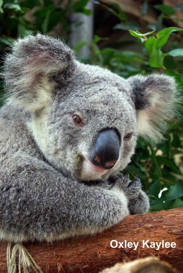 Crazy Koala