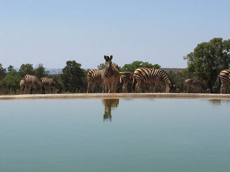 'Inquisitive Dazzle of Zebras at Mhondoro Safari Lodge and Villa