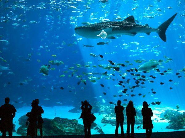 GEORGIA (Atlanta) ~ The Georgia Aquarium ~ The Ocean Voyager exhibit houses whale sharks and the only giant manta rays in a U.S. aquarium.