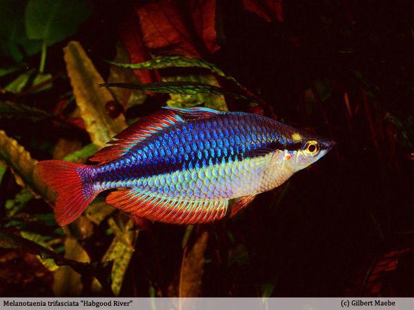 309 best images about fish melanotaeniidae rainbowfish for Tropical rainbow fish